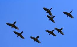 Perroquets de vol Photos stock