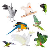 Perroquets de vol réglés sur le blanc Photos libres de droits