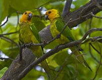 Perroquets des Caraïbes Photographie stock