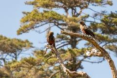 Perroquets du Nouvelle-Zélande Kaka Brown se reposant dans l'arbre images stock