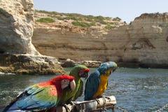 Perroquets du Portugal images libres de droits