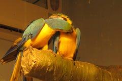 Perroquets enamourés en parc photo libre de droits