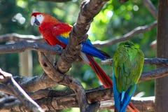 Perroquets exotiques d'aras d'écarlates d'oiseaux photo stock