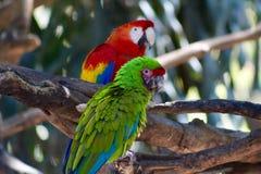 Perroquets exotiques d'aras d'écarlates d'oiseaux photographie stock libre de droits