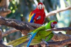 Perroquets exotiques d'aras d'écarlates d'oiseaux image libre de droits