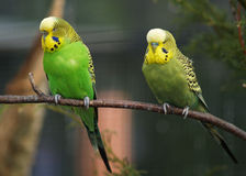 Perroquets jaunes Images libres de droits