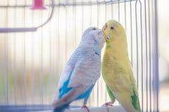Perroquets jaunes et bleus images libres de droits