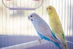 Perroquets jaunes et bleus images stock