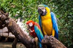 Perroquets jumeaux images libres de droits