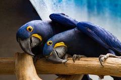 Perroquets jumeaux dans la pose drôle Photos libres de droits