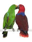 Perroquets mâles et femelles d'Eclectus photographie stock libre de droits