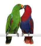 Perroquets mâles et femelles d'Eclectus photo libre de droits