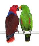 Perroquets mâles et femelles d'Eclectus photo stock