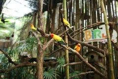 Perroquets mignons oranges dans la grande cage en bois en Thaïlande image stock