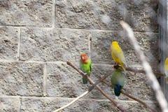 perroquets multicolores photo libre de droits