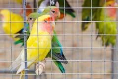 Perroquets multicolores lumineux dans une cage photographie stock
