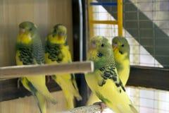 Perroquets onduleux Images libres de droits