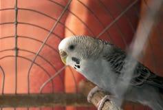 Perroquets onduleux Photo libre de droits