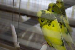 Perroquets onduleux Image libre de droits