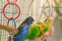 Perroquets onduleux dans une cage photos stock