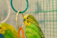Perroquets onduleux dans une cage photographie stock libre de droits