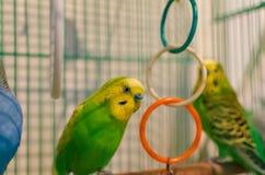 Perroquets onduleux dans une cage photos libres de droits