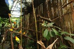 Perroquets oranges dans la grande cage en bois en Thaïlande photo libre de droits