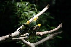 Perroquets principaux jaunes dans la forêt brésilienne Photo libre de droits