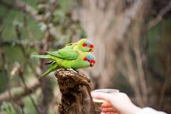 Perroquets rapides de alimentation Image stock