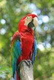 Perroquets rouges image libre de droits