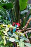 Perroquets rouges lissant image libre de droits