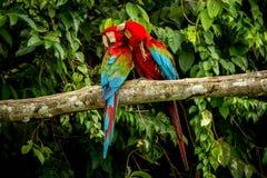 Perroquets rouges se toilettant sur la branche, végétation verte à l'arrière-plan Ara rouge et vert dans la forêt tropicale, Brés photographie stock