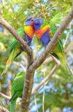 Perroquets sauvages de lorikeet d'arc-en-ciel photo stock