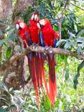 Perroquets sur la branche au site de Copan, Honduras image libre de droits