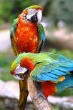 Perroquets sur la perche Photographie stock