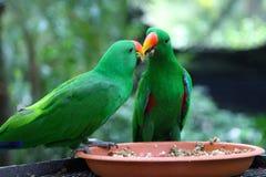 Perroquets vert clair, Singapour photos libres de droits