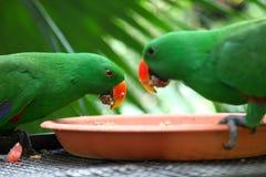 Perroquets vert clair, Singapour images libres de droits