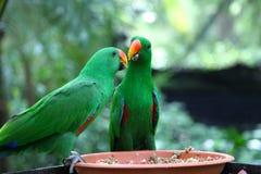 Perroquets vert clair, Singapour image libre de droits