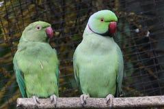 Perroquets verts photo libre de droits