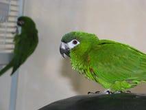 Perroquets verts photographie stock libre de droits