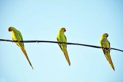 Perroquets verts Photos libres de droits