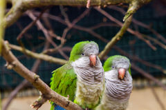 Perroquets verts image stock