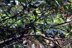 Perroquets verts au beau milieu des feuilles vertes image stock