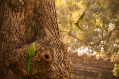 Perroquets verts au jardin de Lodhi images libres de droits