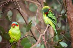Perroquets verts australiens sur un arbre Photographie stock
