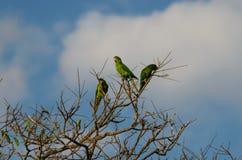 Perroquets verts brésiliens photo libre de droits