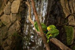 Perroquets verts d'ara sur la branche de zoo photographie stock