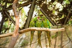 Perroquets verts d'ara sur la branche de zoo photo stock