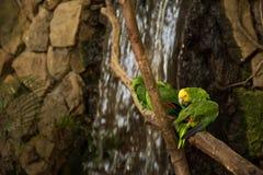 Perroquets verts d'ara sur la branche de zoo images stock