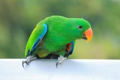Perroquets verts d'eclectus image stock